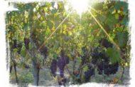 Chúa nhật XXVII Thường niên năm A: Vườn nho của Chúa
